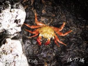 Sally-Lightfoot-Crab-Galapagos-Islands