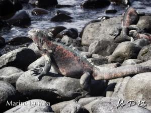 Marine-Iguana-(Amblyrhynchus-cristatus)