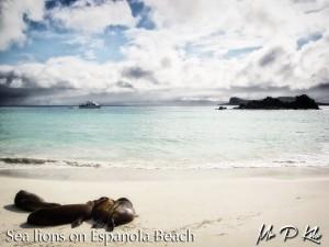 Galapagos-sea-lions-on-espanola-island-beach