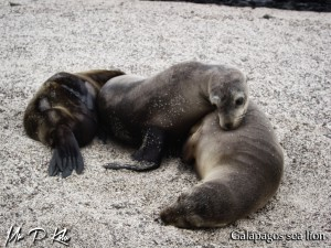 three-galapagos-sea-lions-on-Espanola-Island