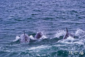 Three bottle nosed dolphins in the Farne Islands