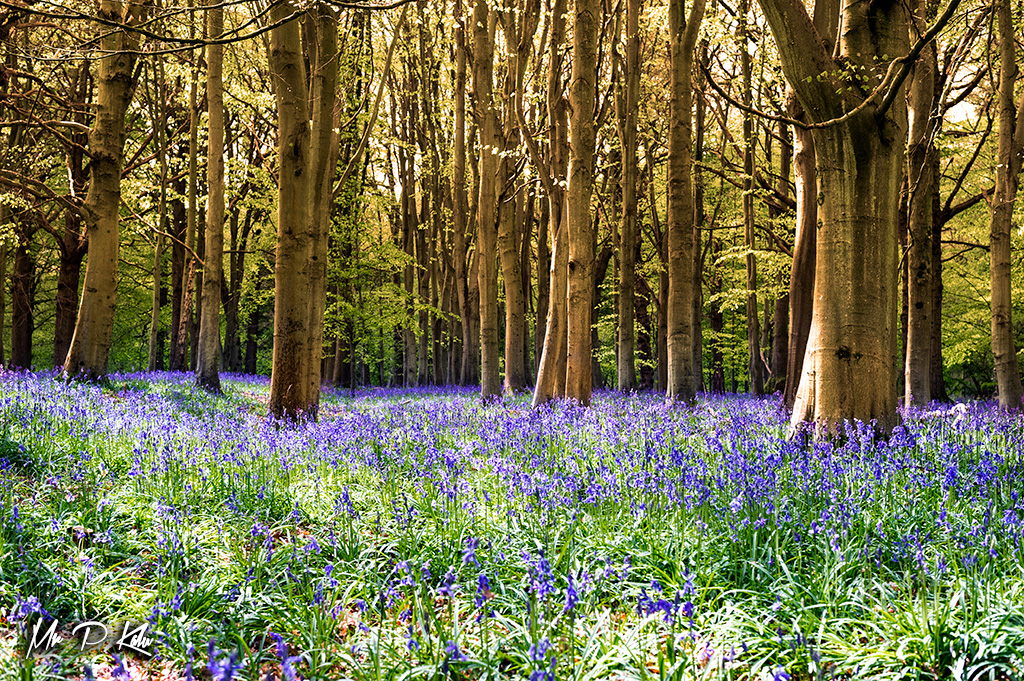 Woodland floor covered by bluebells in the Oxfordshire Cotswolds taken by MrPKalu