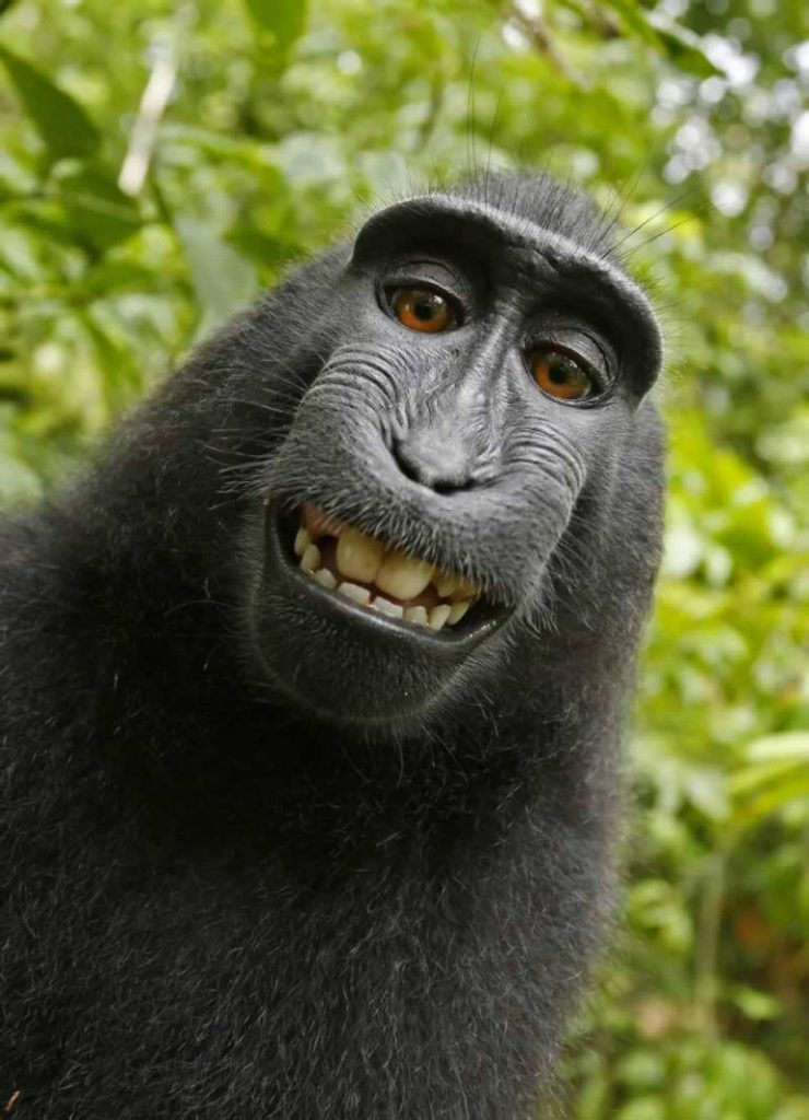 Naruto, a macaque monkey has been in a legal battle over copyrights from his selfie image taken in the Indonesian jungle