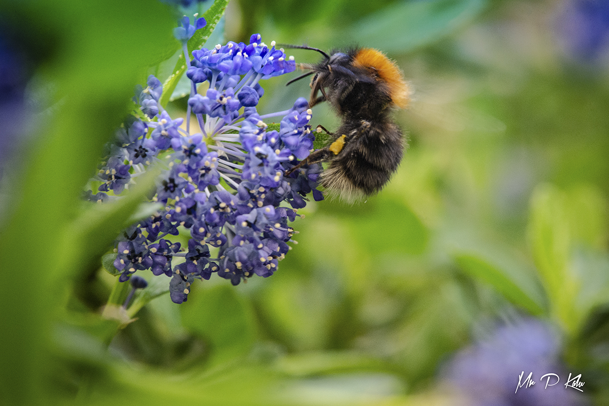 Bee on a ceanothus flower
